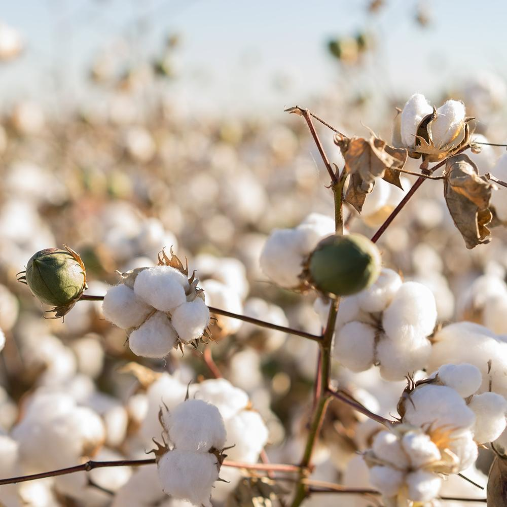Our Company - Egyptian Cotton Field - My Cotton Dream